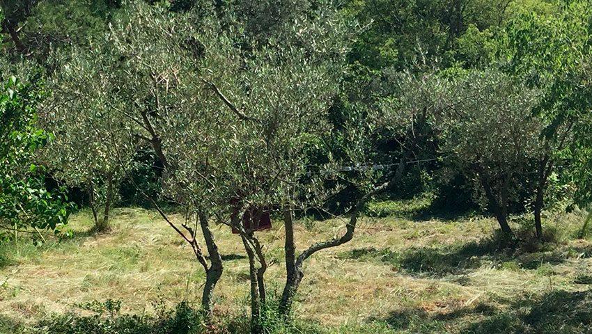 image-oliviers